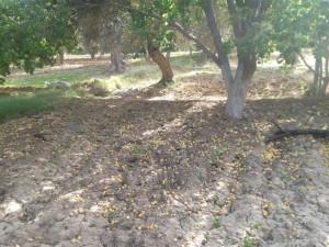 Chute massive des abricots