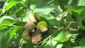 Fruits d'abricot momifiés sur les abricotiers